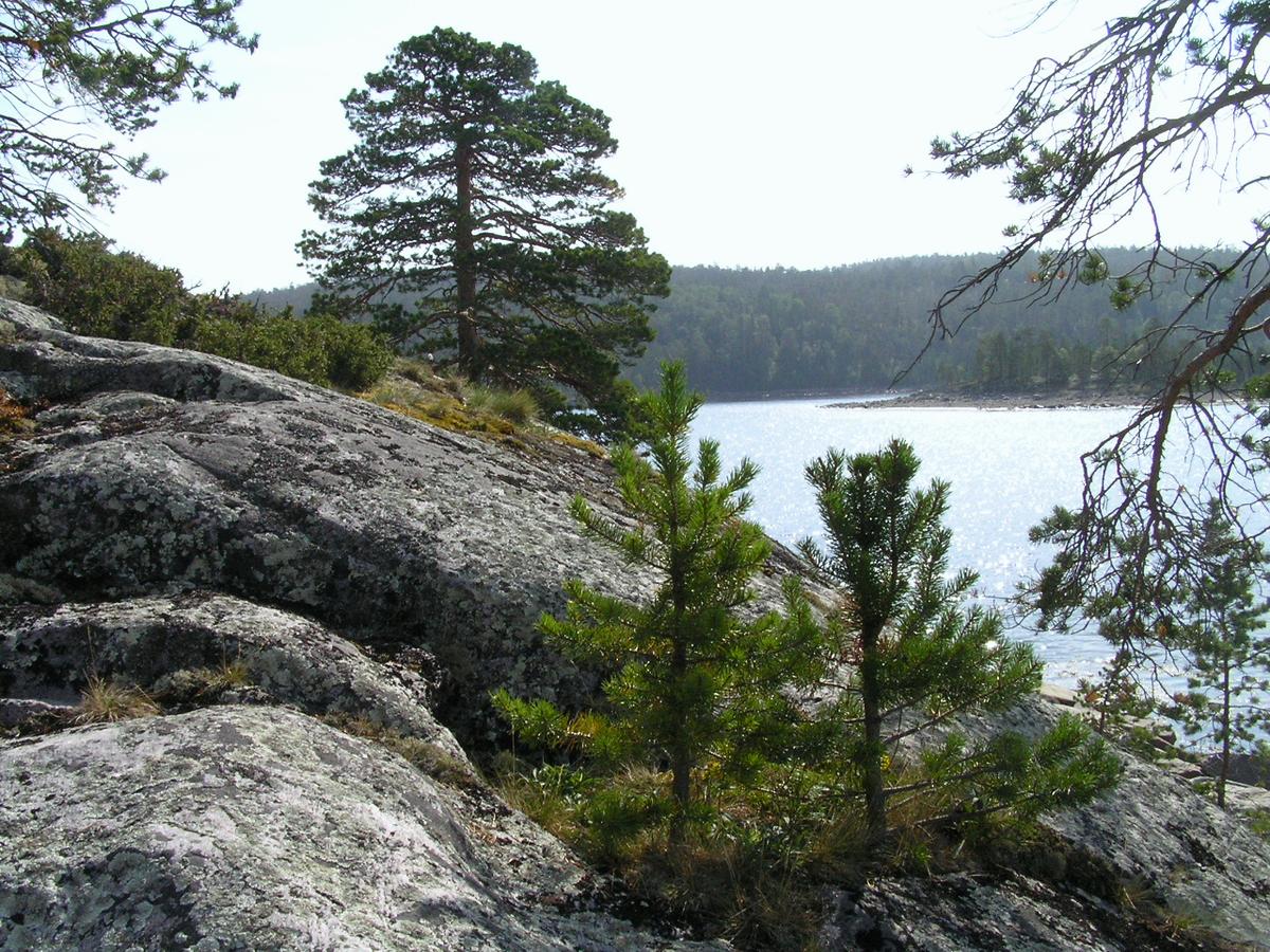 Карелия озеро берег сосны