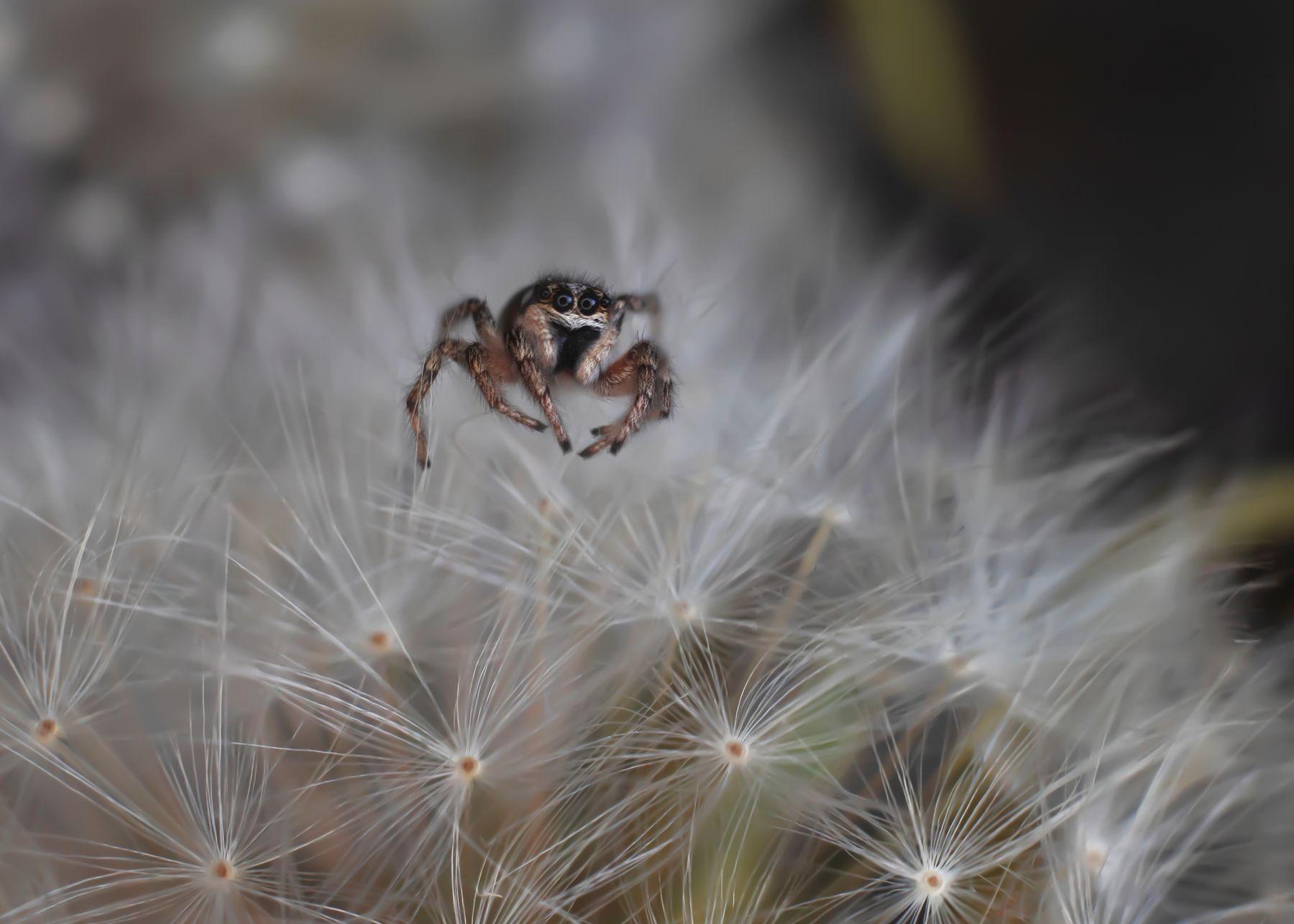 глазастик паук скакун одуванчик макро