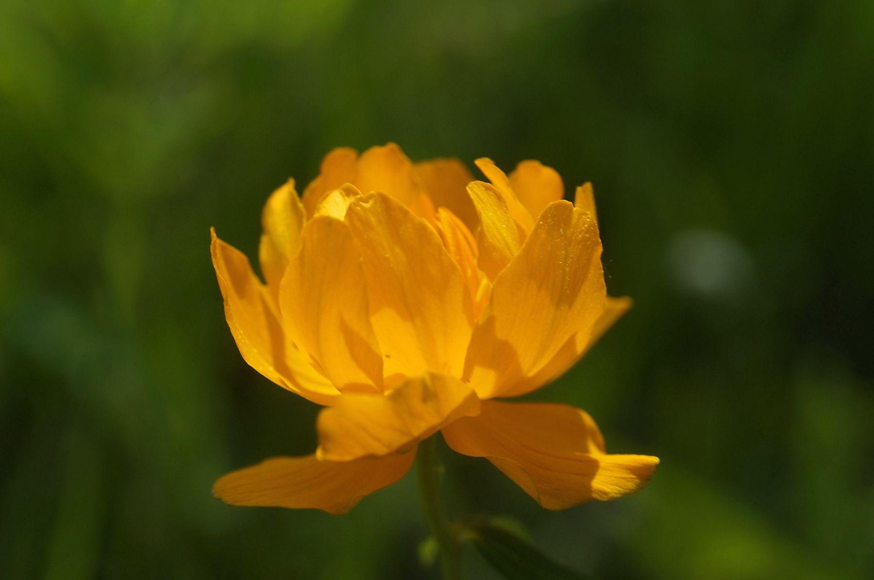 Жарок жарки лето лес цветы природа