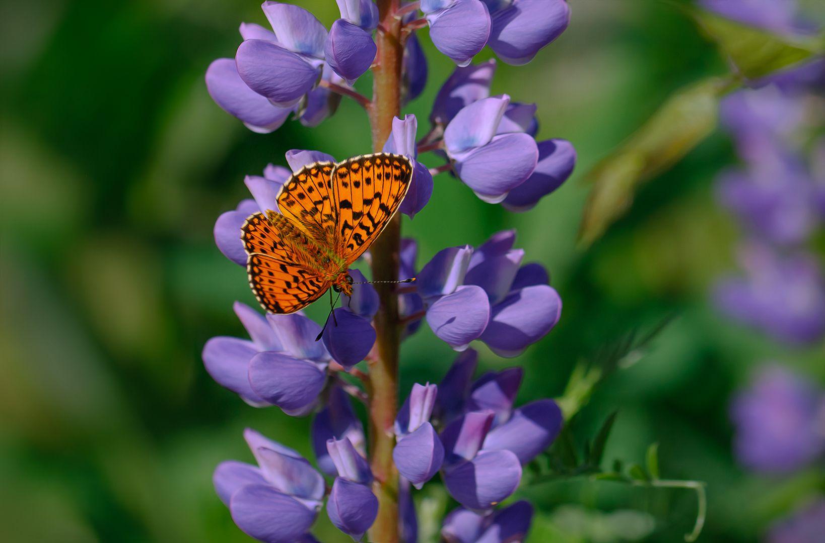 Бабочка и люпин бабочка люпин