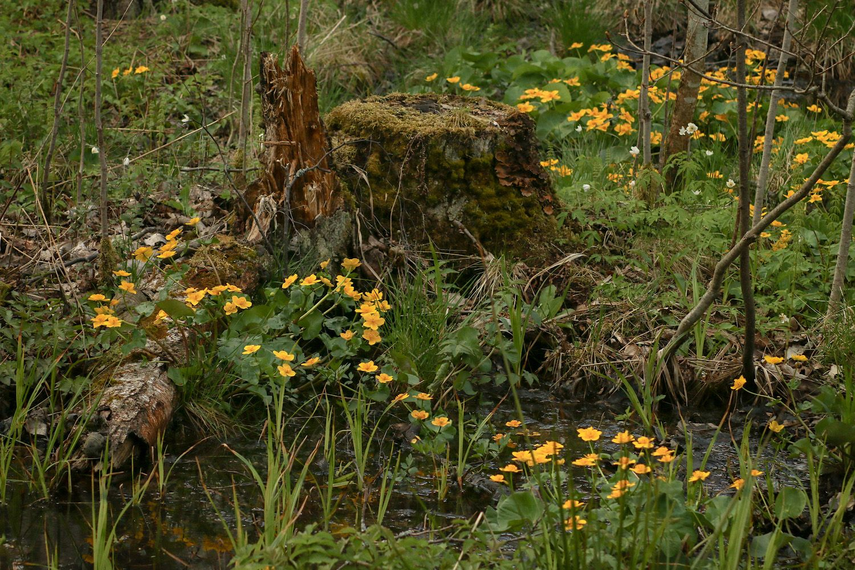 И даже пень в весенний день опять березкой стать мечтает Весна цветы калужница