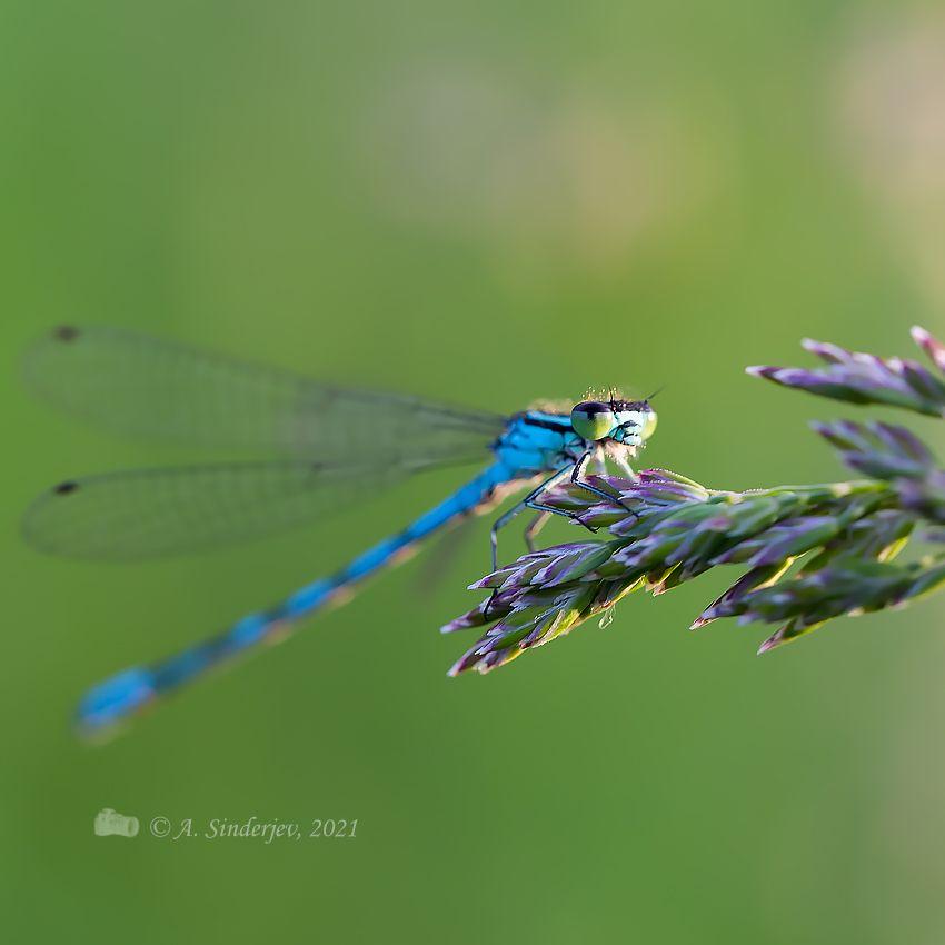 Стрекоза стрелка насекомое стрекоза лето макро