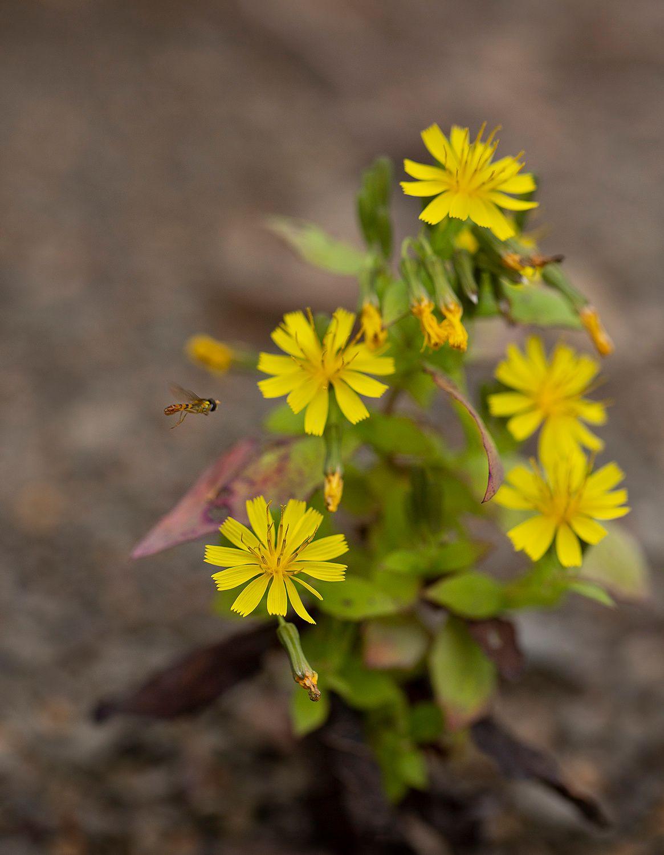 Осенняя муха журчалка сентябрь