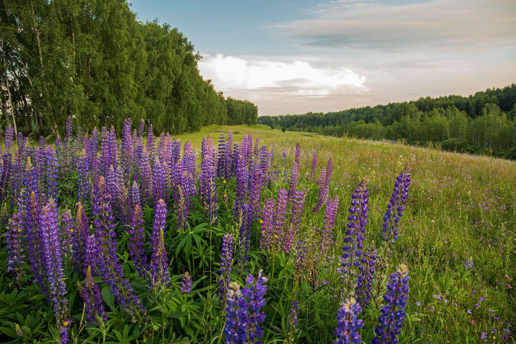 *** природа пейзаж лето вечер люпины татарстан новочувашский