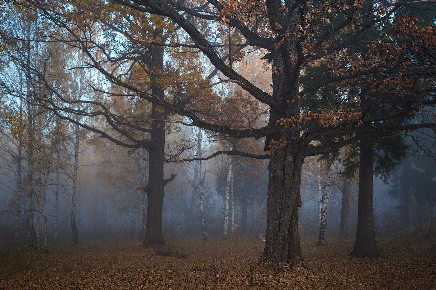 Старый дуб утро туман осень Фрязино Гребнево