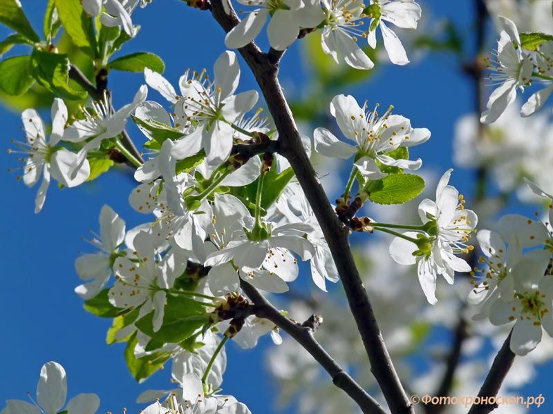 Вишня вишня дерево цветок