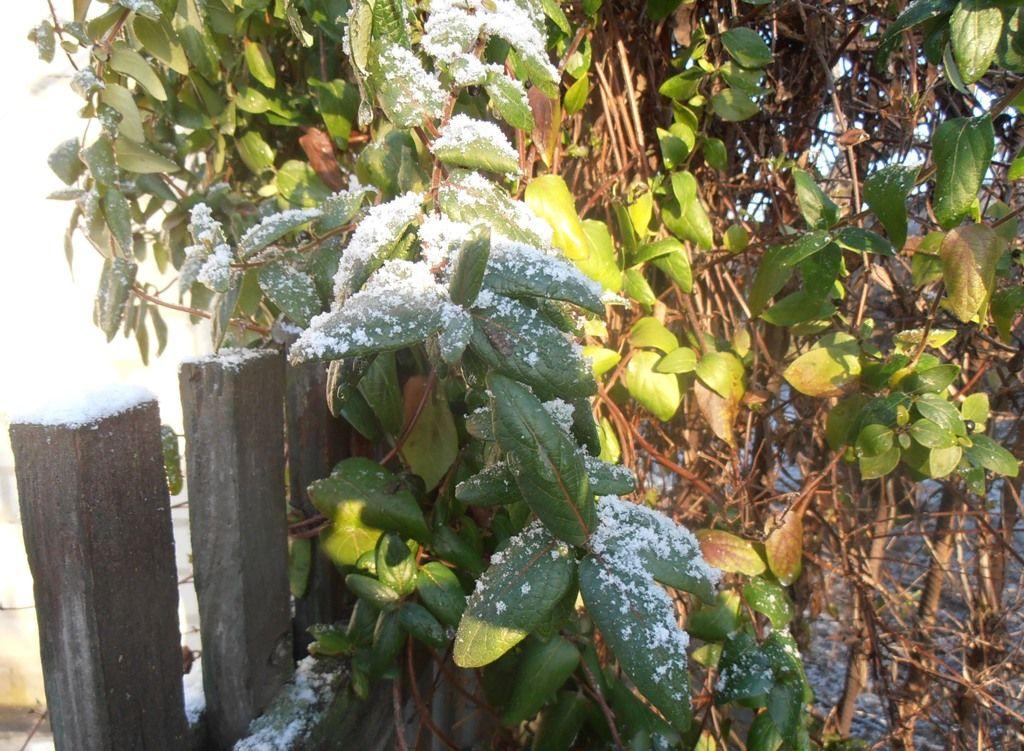 жимолость зима дома сад