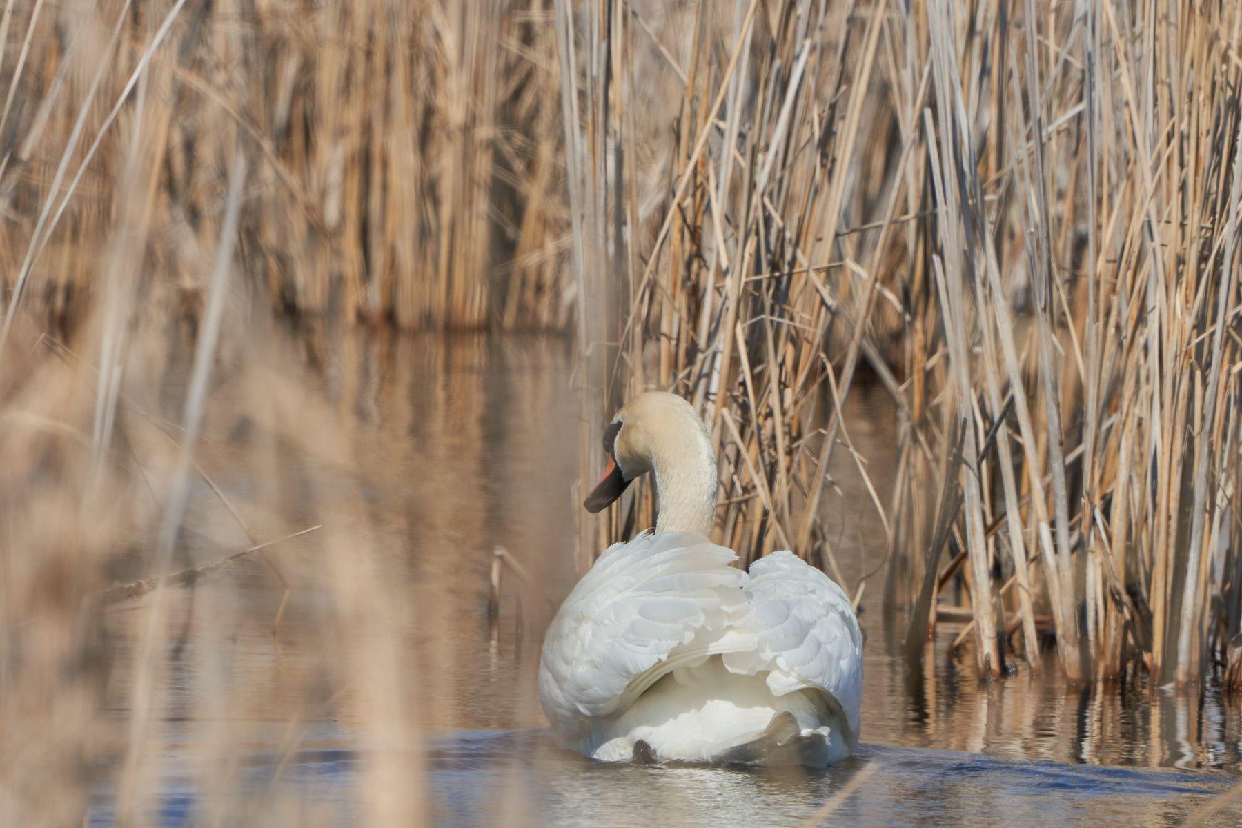 Лебедь Лебеди природа весна