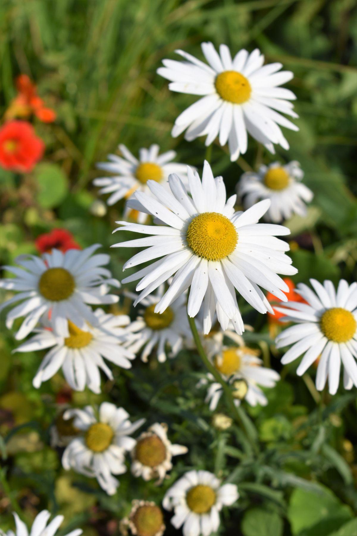 Раз ромашка, два ромашка... природа полевые цветы ромашки