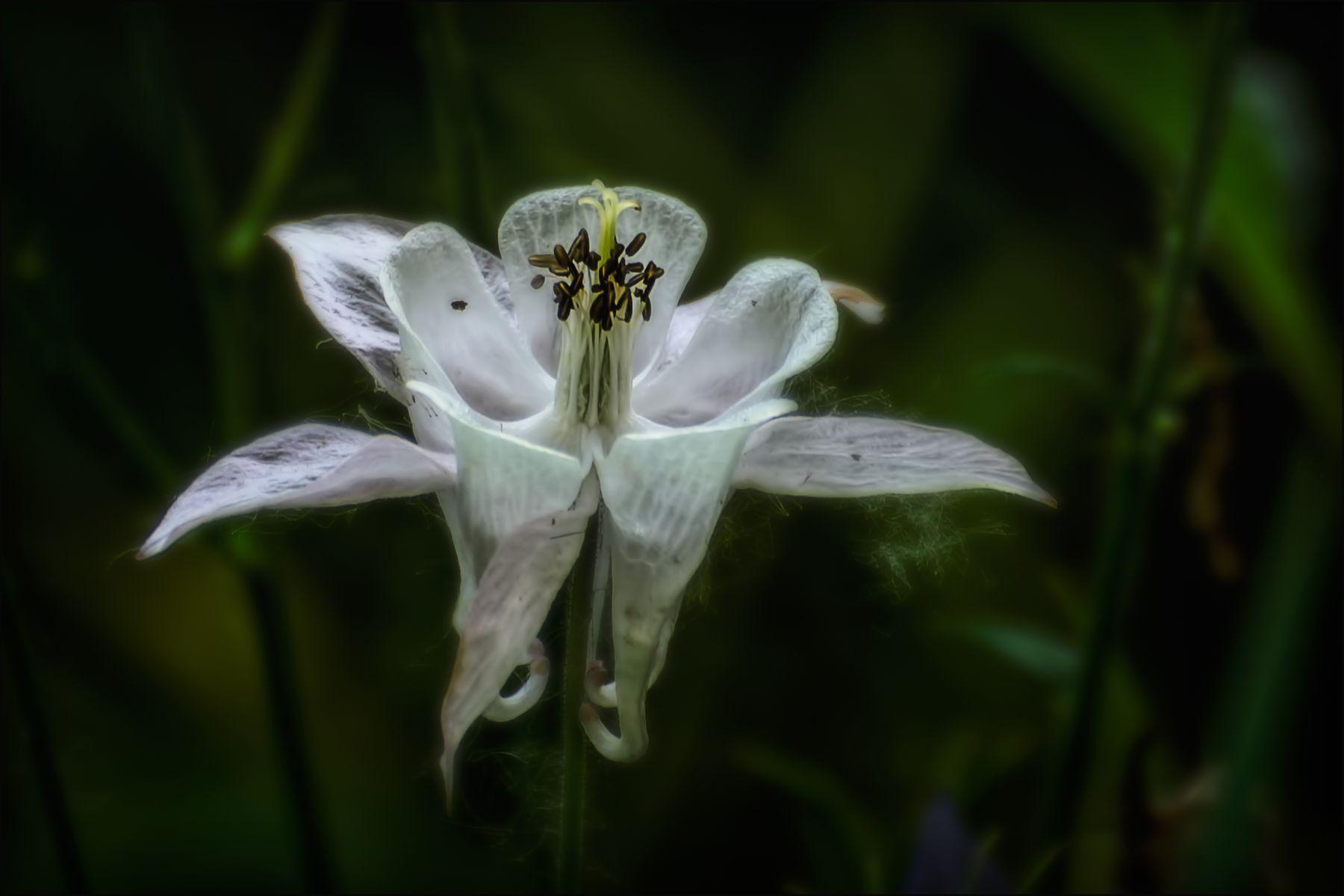 Водосбор. лето цветы макро