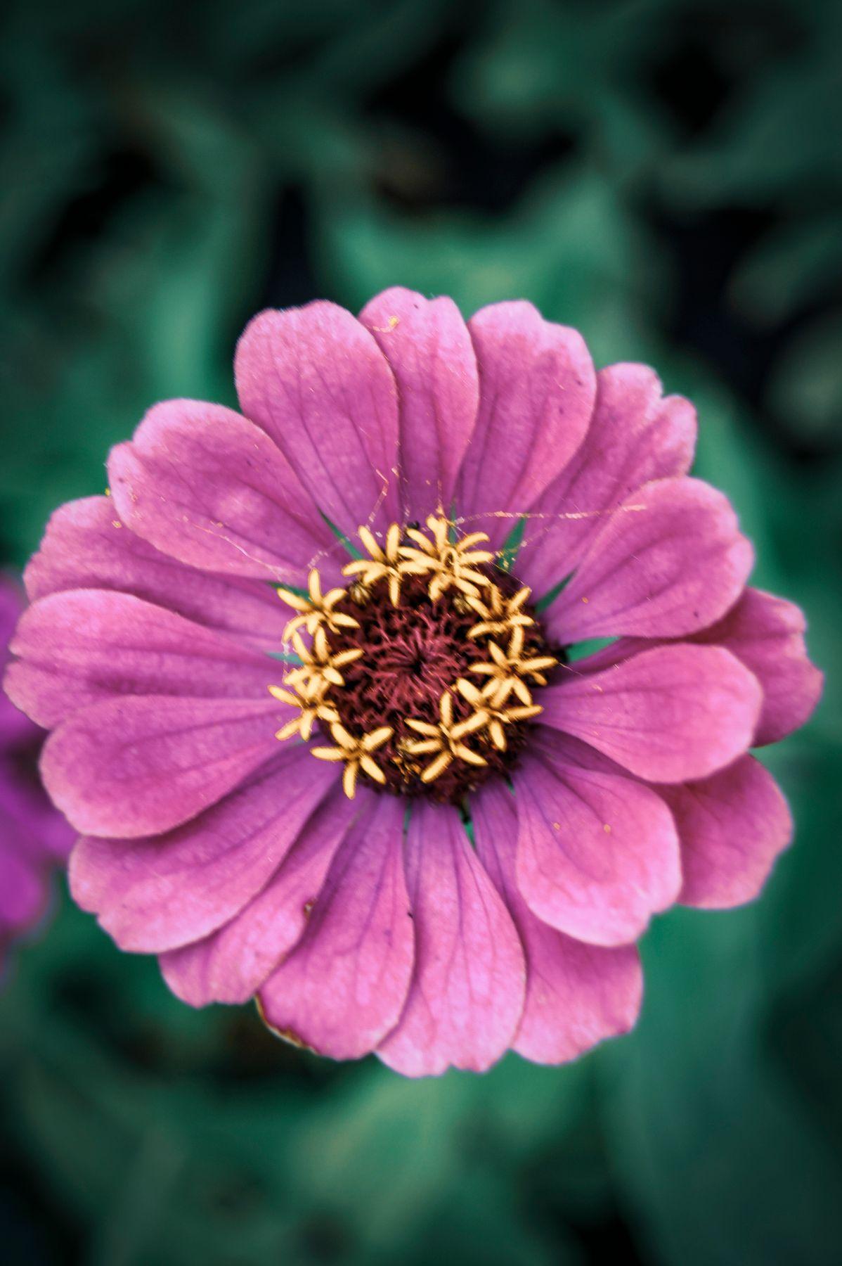 Zinnia цветок лепестки