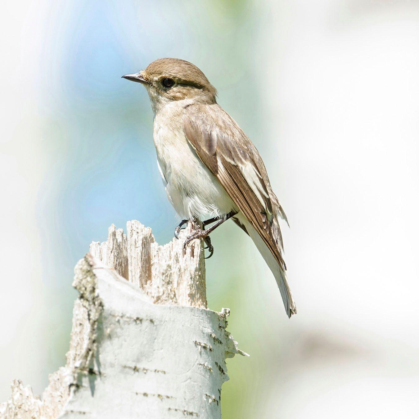 Мухоловка-пеструшка (самка) Лосиный остров
