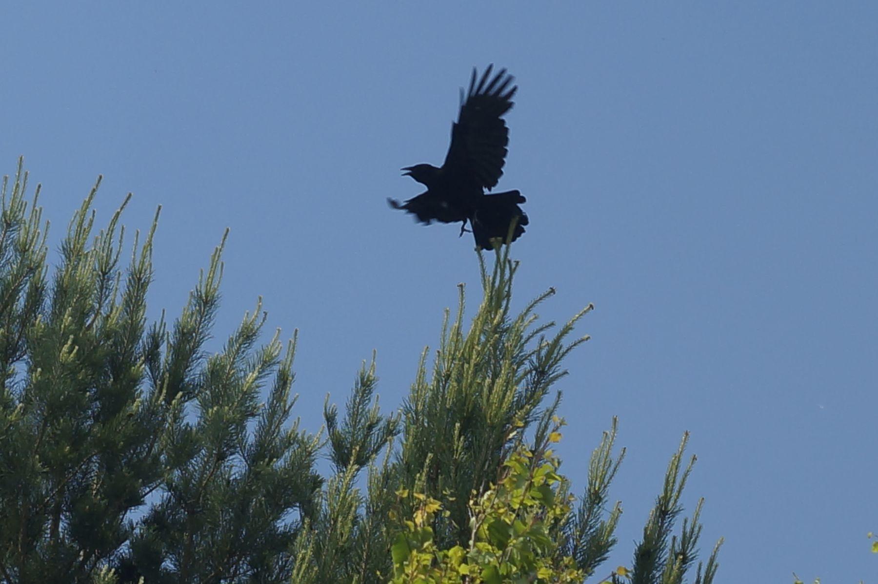 Взлет! ворона птица лес лето