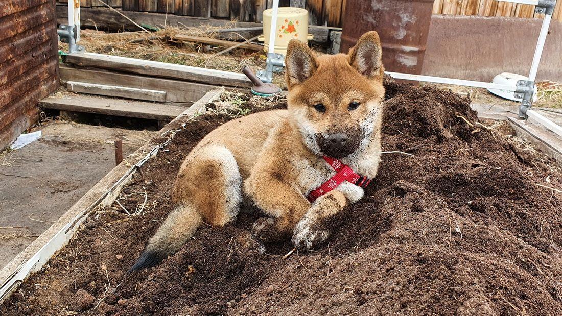 """Мы """"похали"""" собаки Япония сиба-ину самурай шиба щенок малыш отдых весна сиба"""