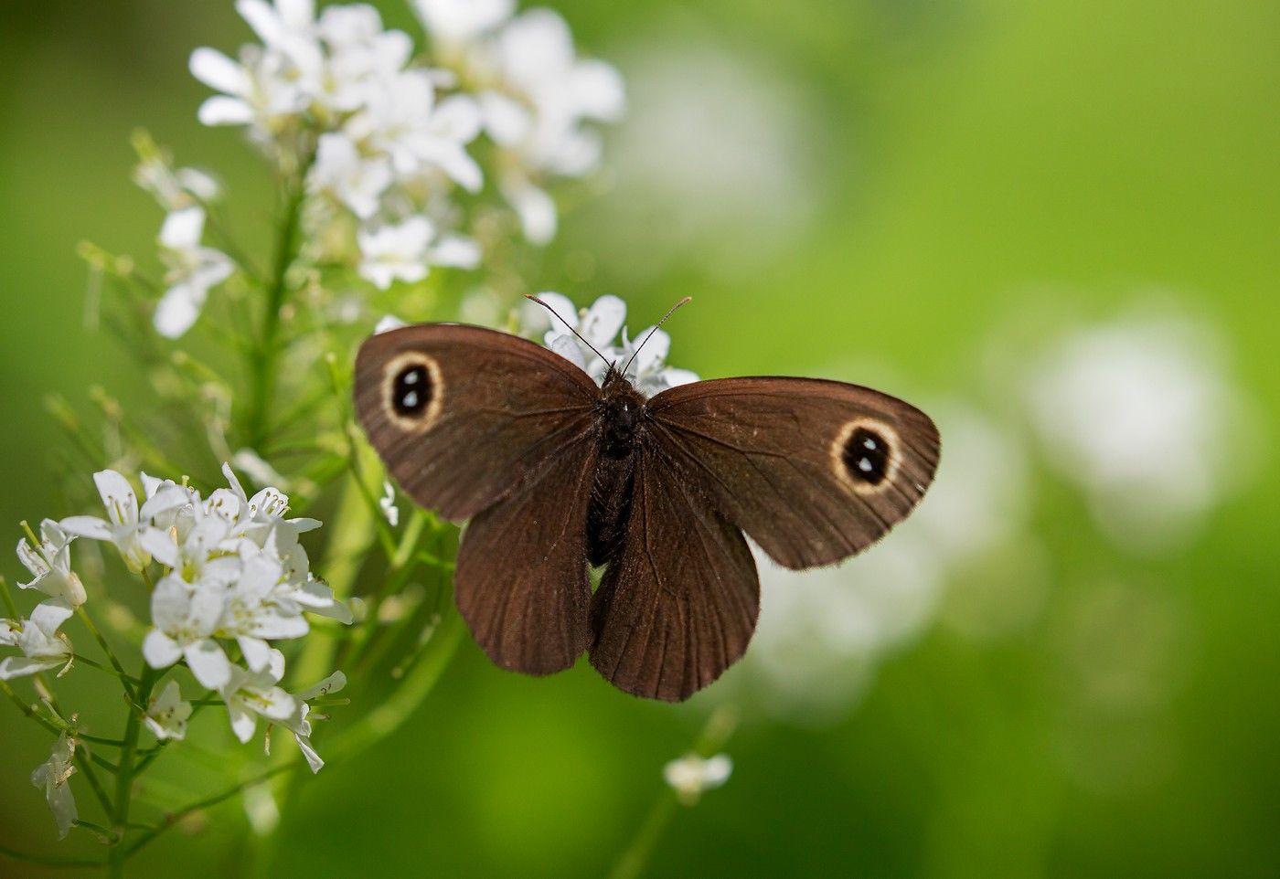 Бархатница бабочка бархатница окрестности Владивостока