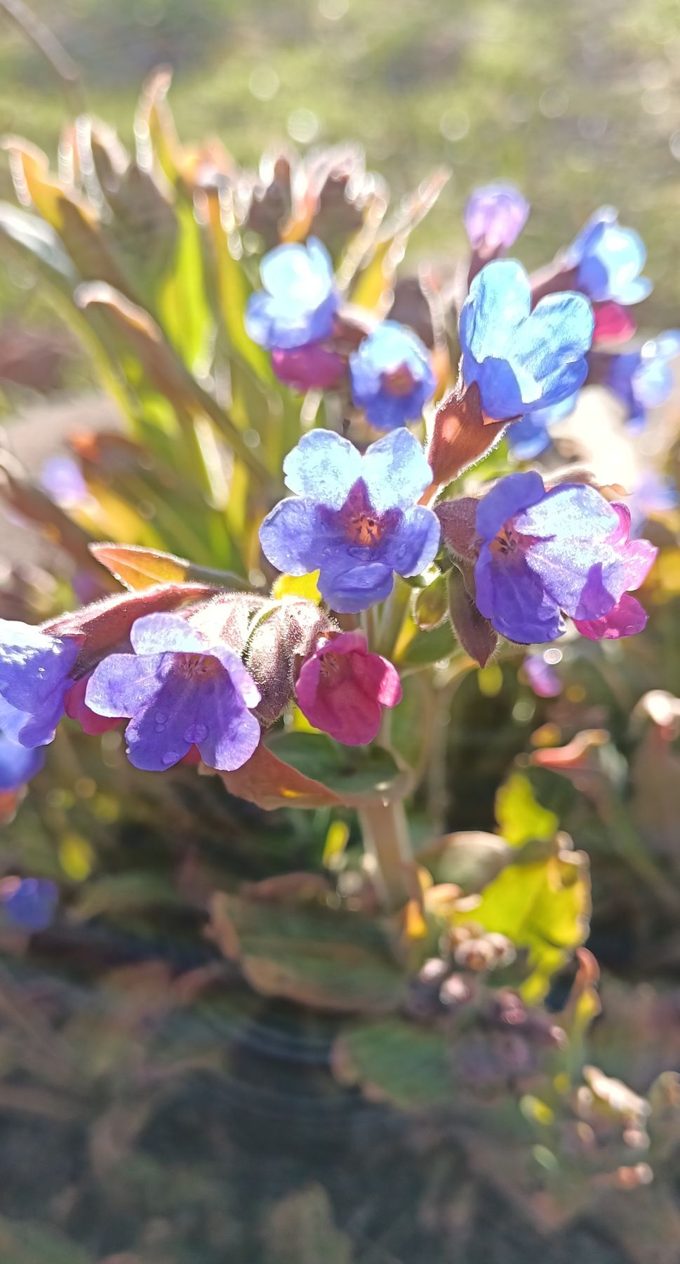 ***Залитые солнцем Цветы медуница солнечные цветы голубые красивые танцующие красота залитые солнцем весенние первоцветы солнечный блик весна ванны