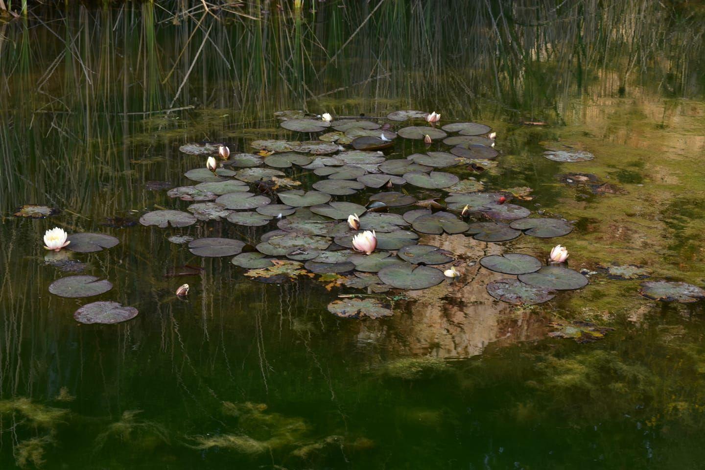 Есть в графском парке... природа пруд кувшинки