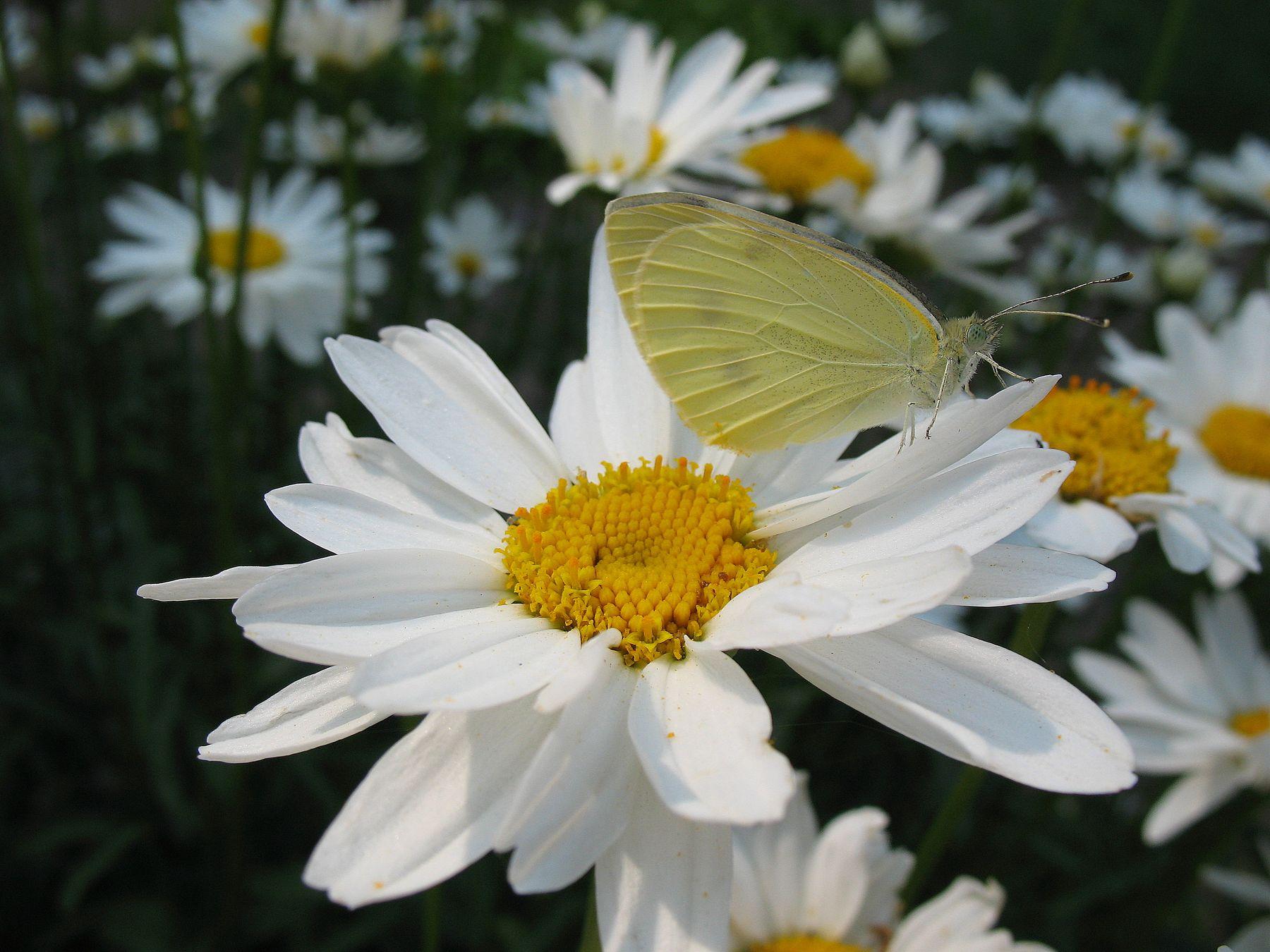Ромашки с бабочкой природа лето цветы фауна насекомые бабочки макро флора