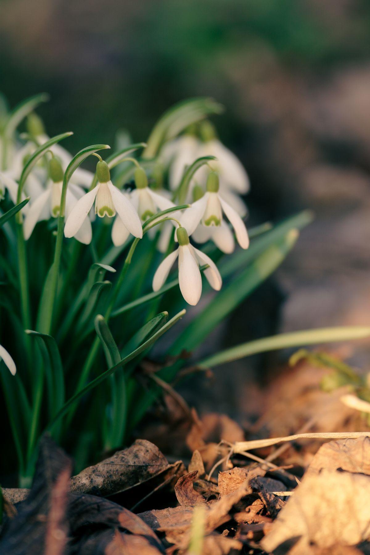 Первоцветы весна подснежники цветы