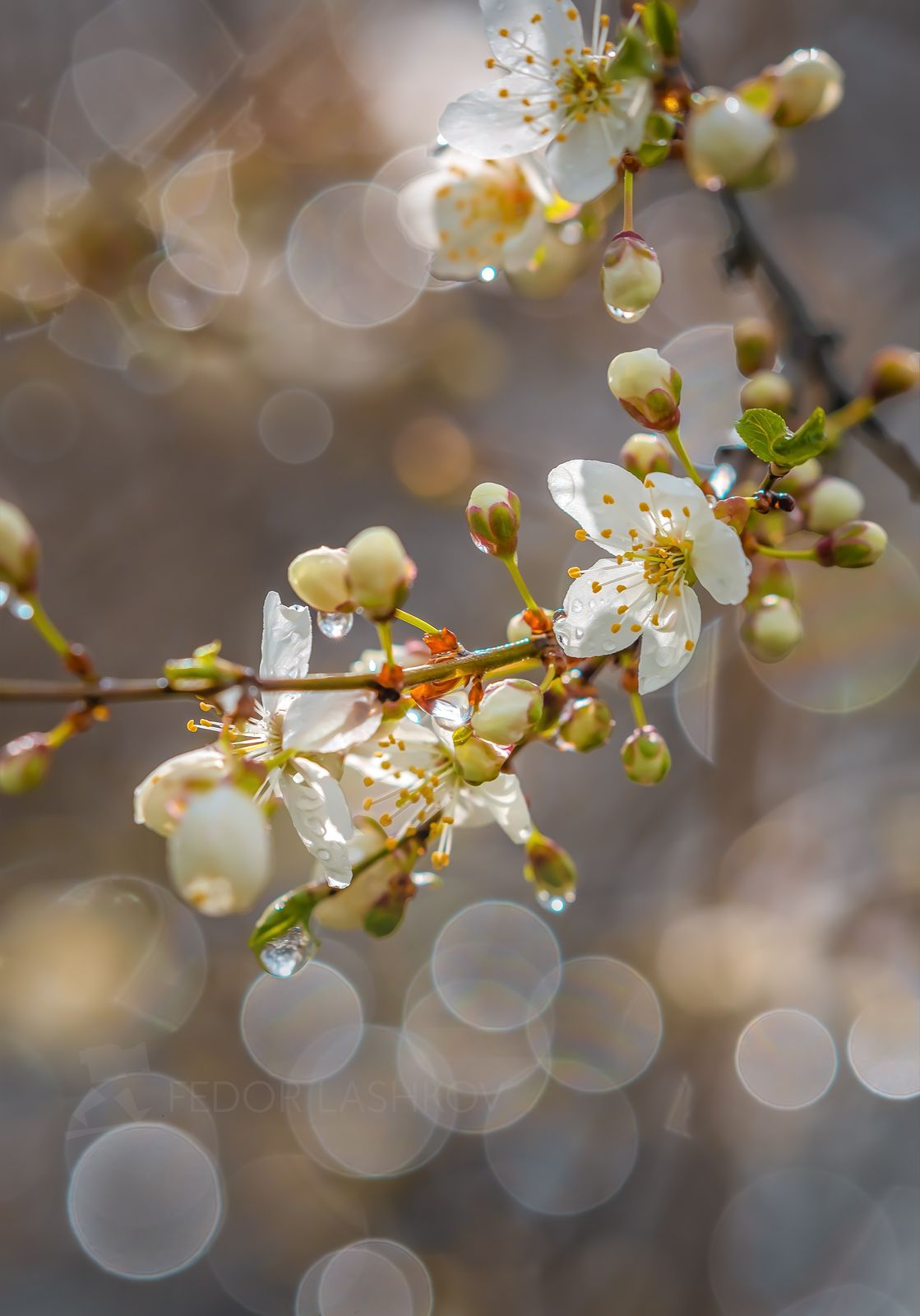 Разговор с солнцем Ставропольский край Ставрополье весна цветущее алыча цветки фруктовое после дождя капли макро солнце светлое чистое нужное дождь солнечно