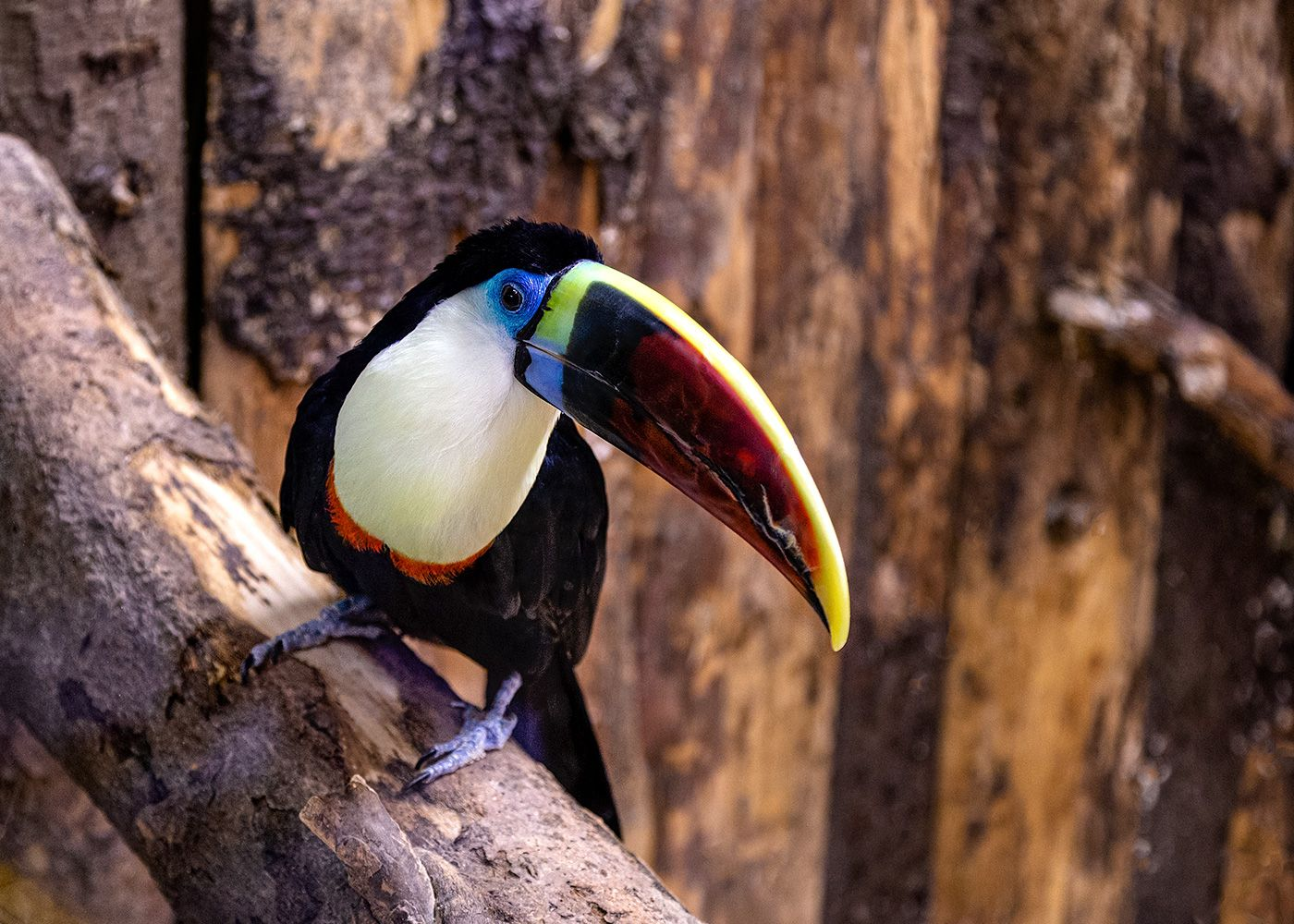 Тукан тукан животные птица зоопарк toucan zoo animal bird