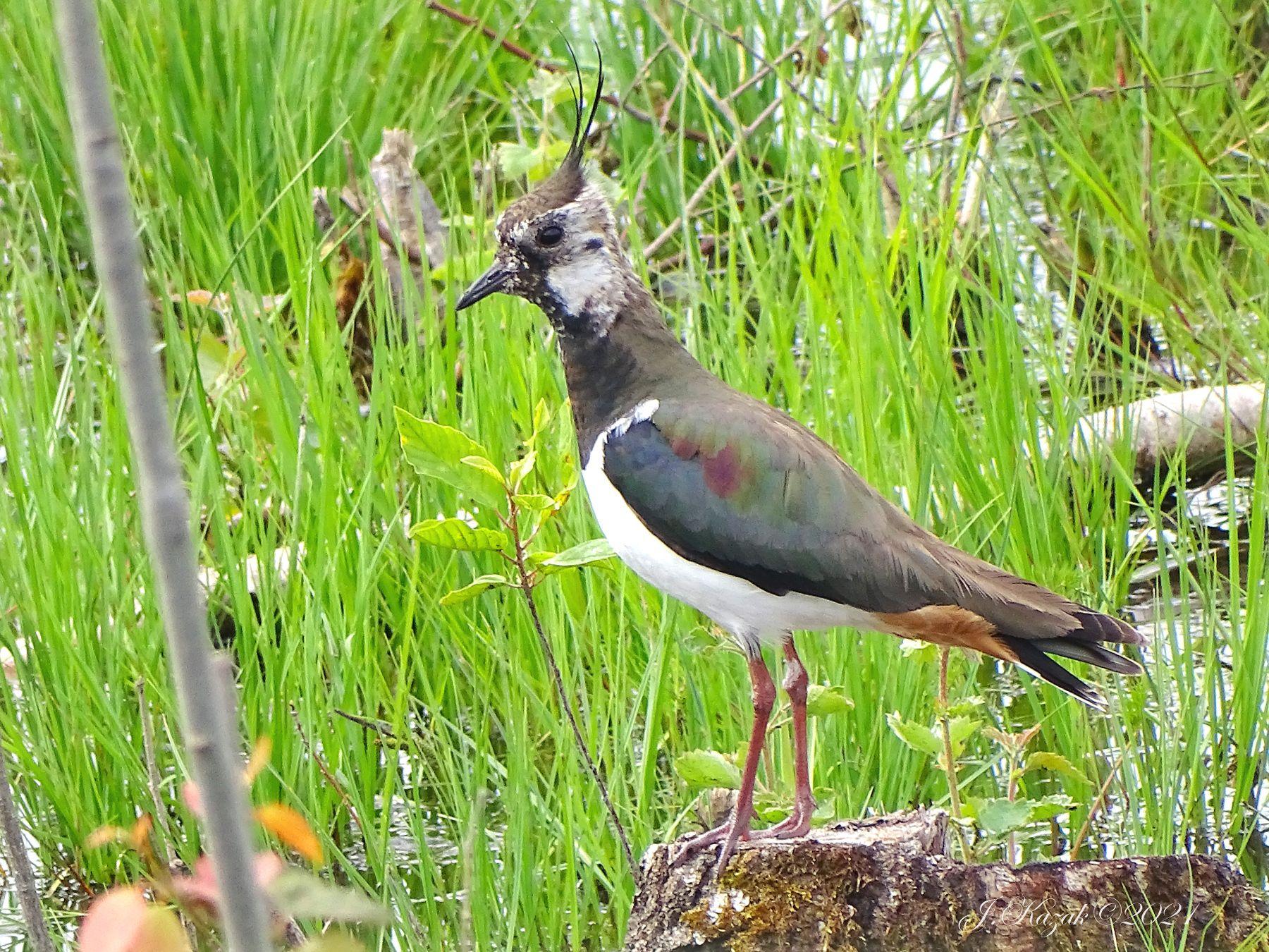 Чибис. животные природа птицы фауна