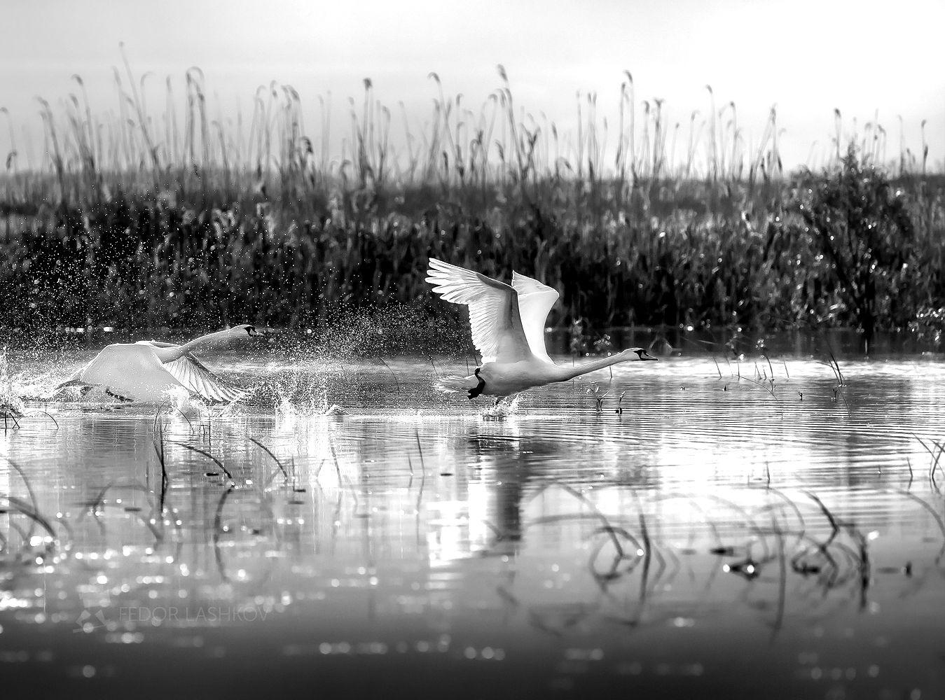 Звонкая мелодия взлёта Чёрно-белое лебедь лебеди на взлёте дикая природа птица дельта Волги Волга река взлёт