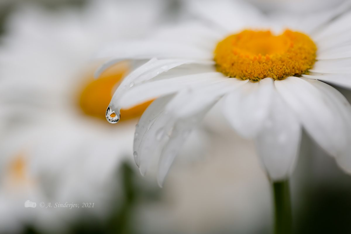 Ромашка и капля дождя отражение цветы макро капли дождь