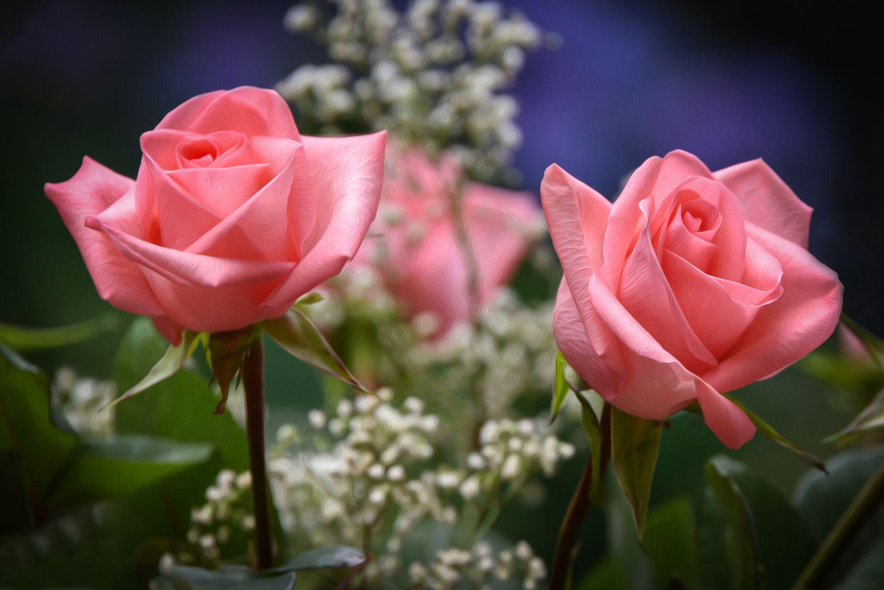 *** Розы
