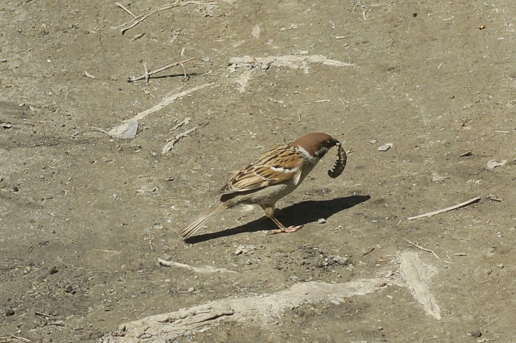 Удачная охота воробей насекомое лето птица