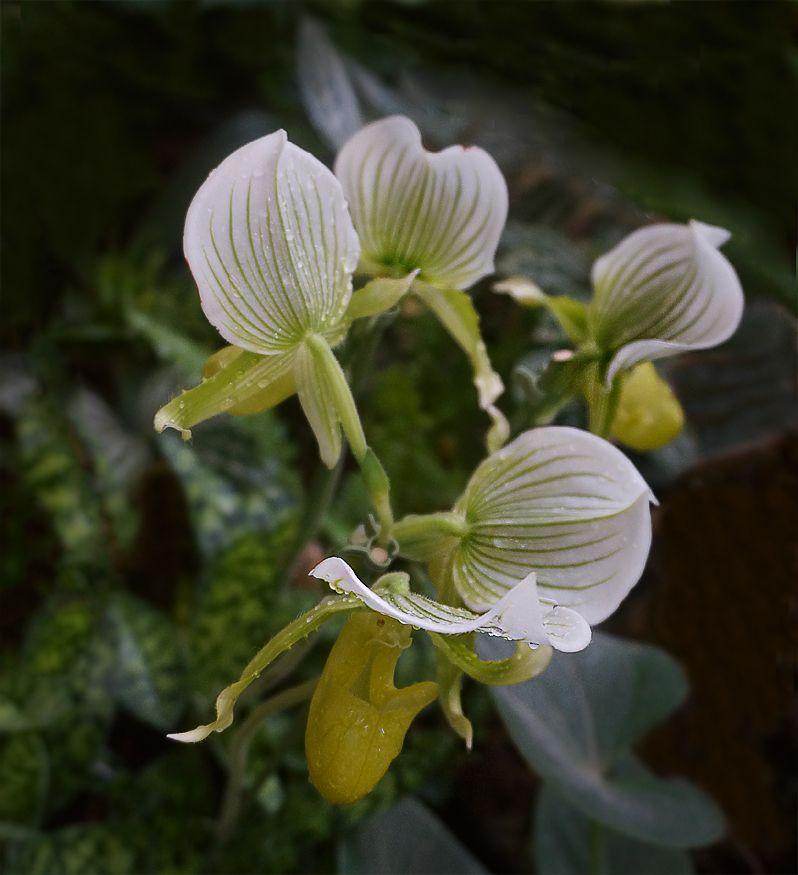 *** орхидеи