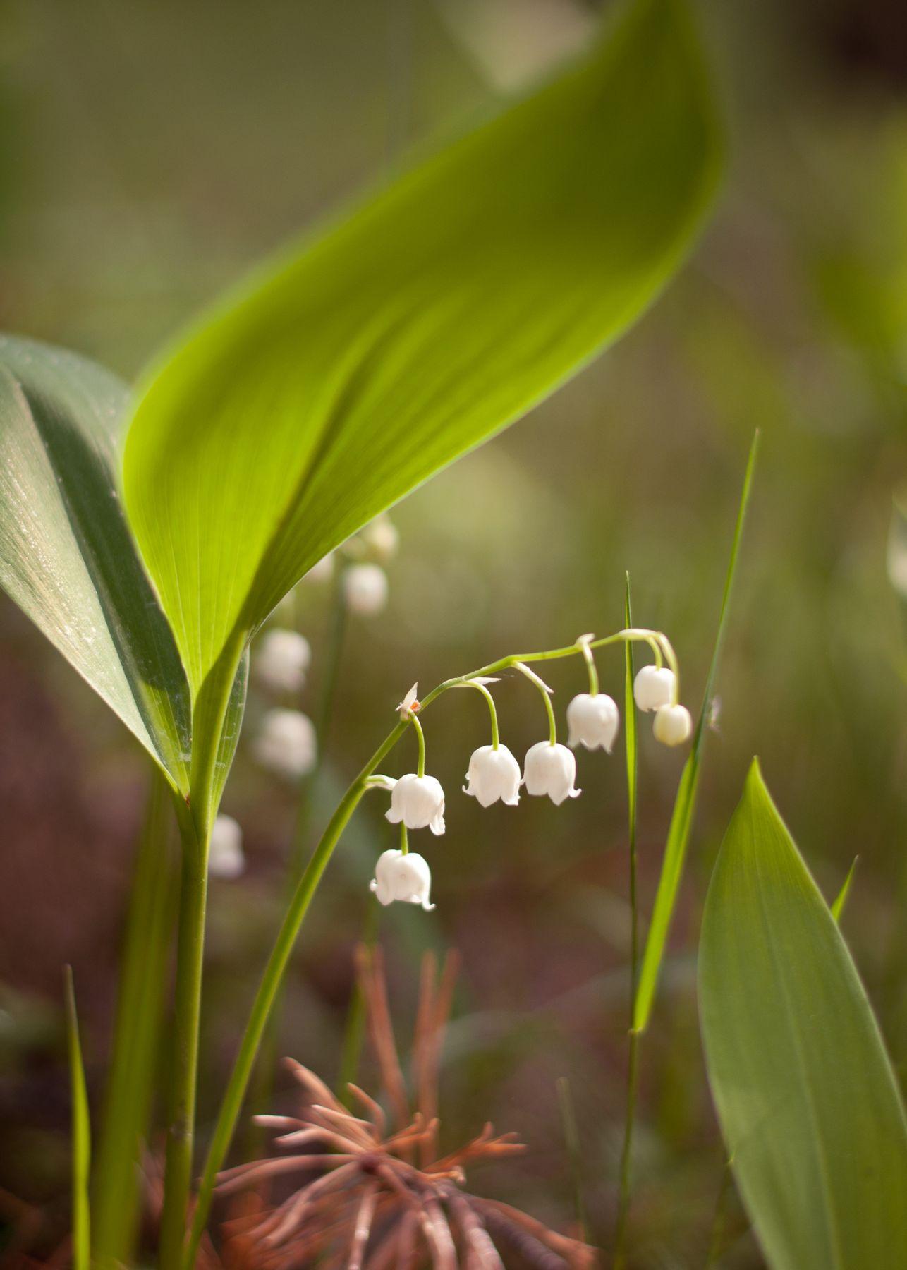 ландыши ландыши цветы природа весна
