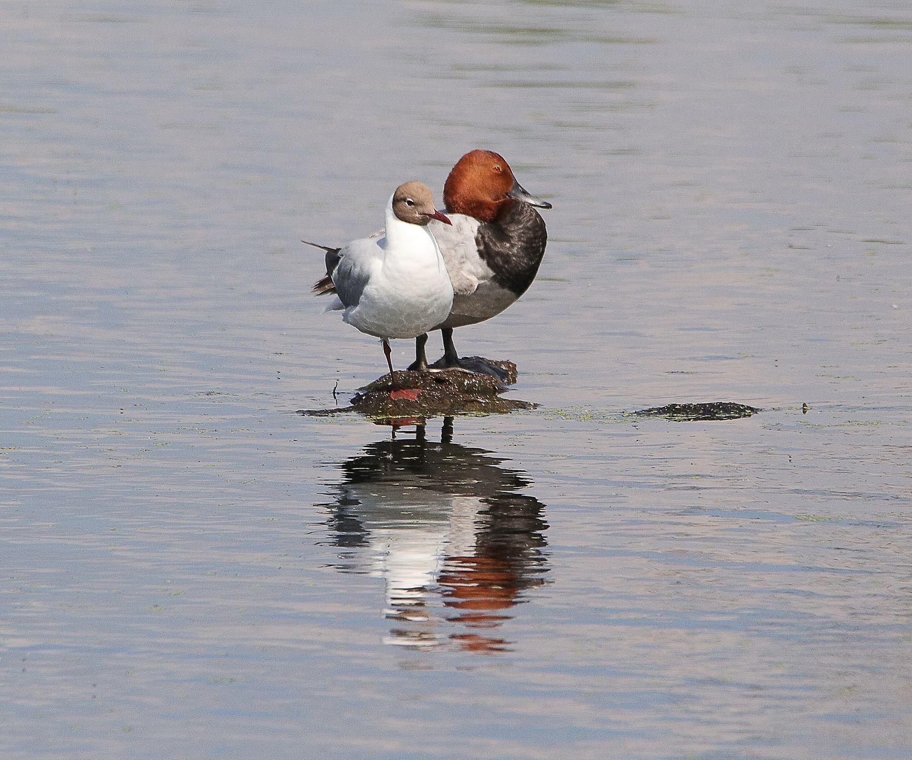 в тесноте но не в обиде птицы водоплавающие красноголовый нырок чайка
