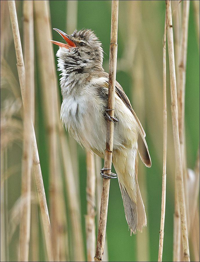 Дроздовидная камышовка тростник самец птица Польша озеро Дроздовидная камышовка вода весна Бытом