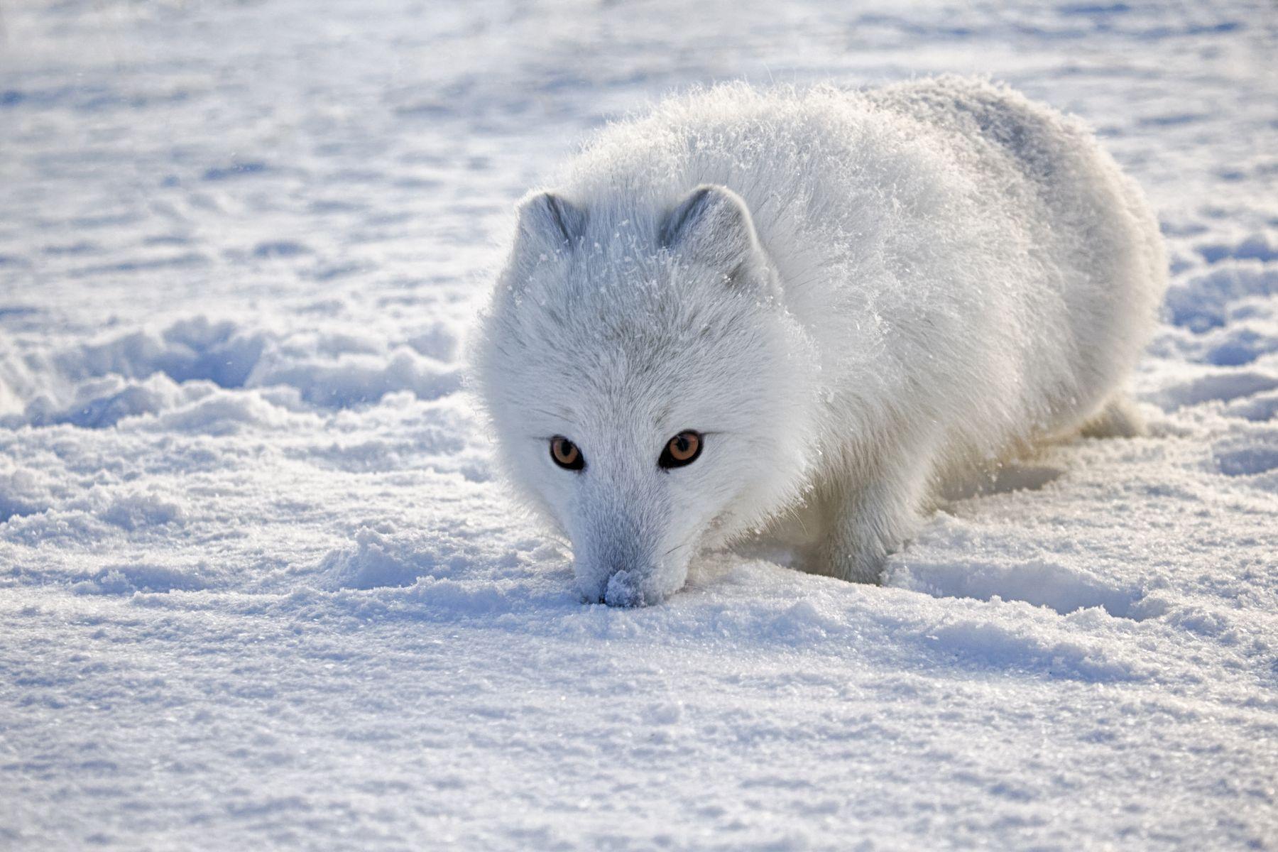 Полярная лисица лиса север снег малая земля