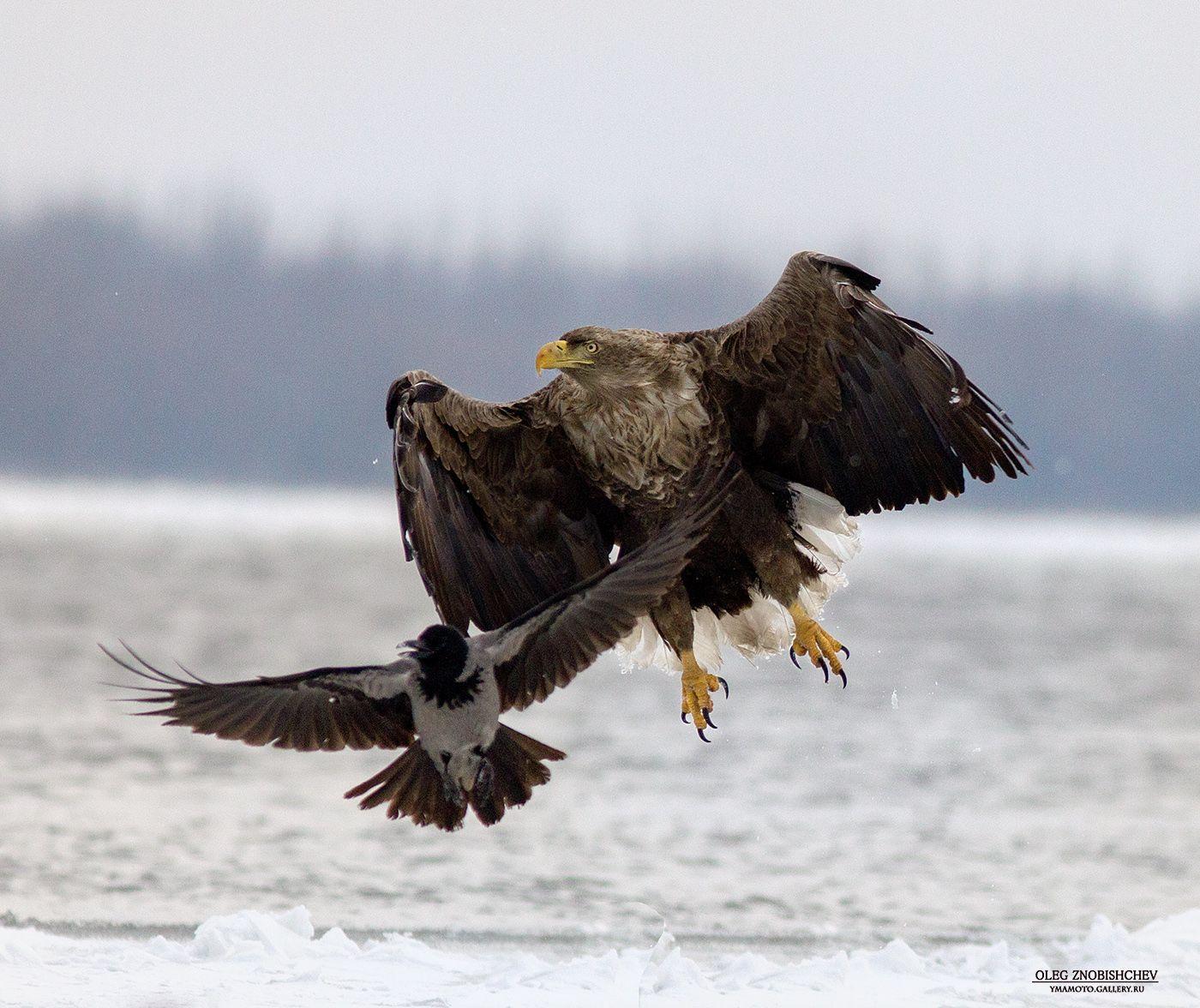 *** соседи 2 Орлан белохвост река Волга Астрахань