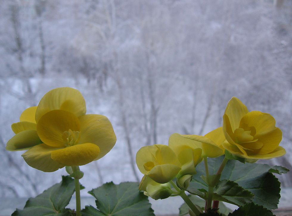Цветы на окне-2 цветы окно зима