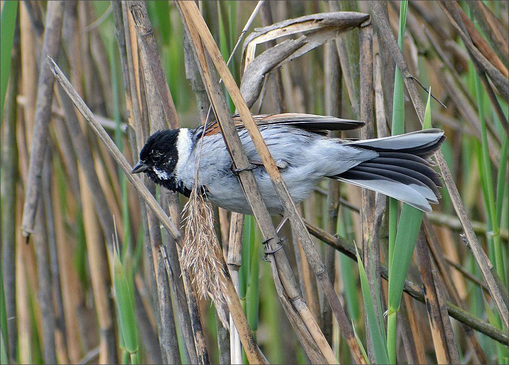 *** тростник птица самец вода озеро весна Польша Бытом