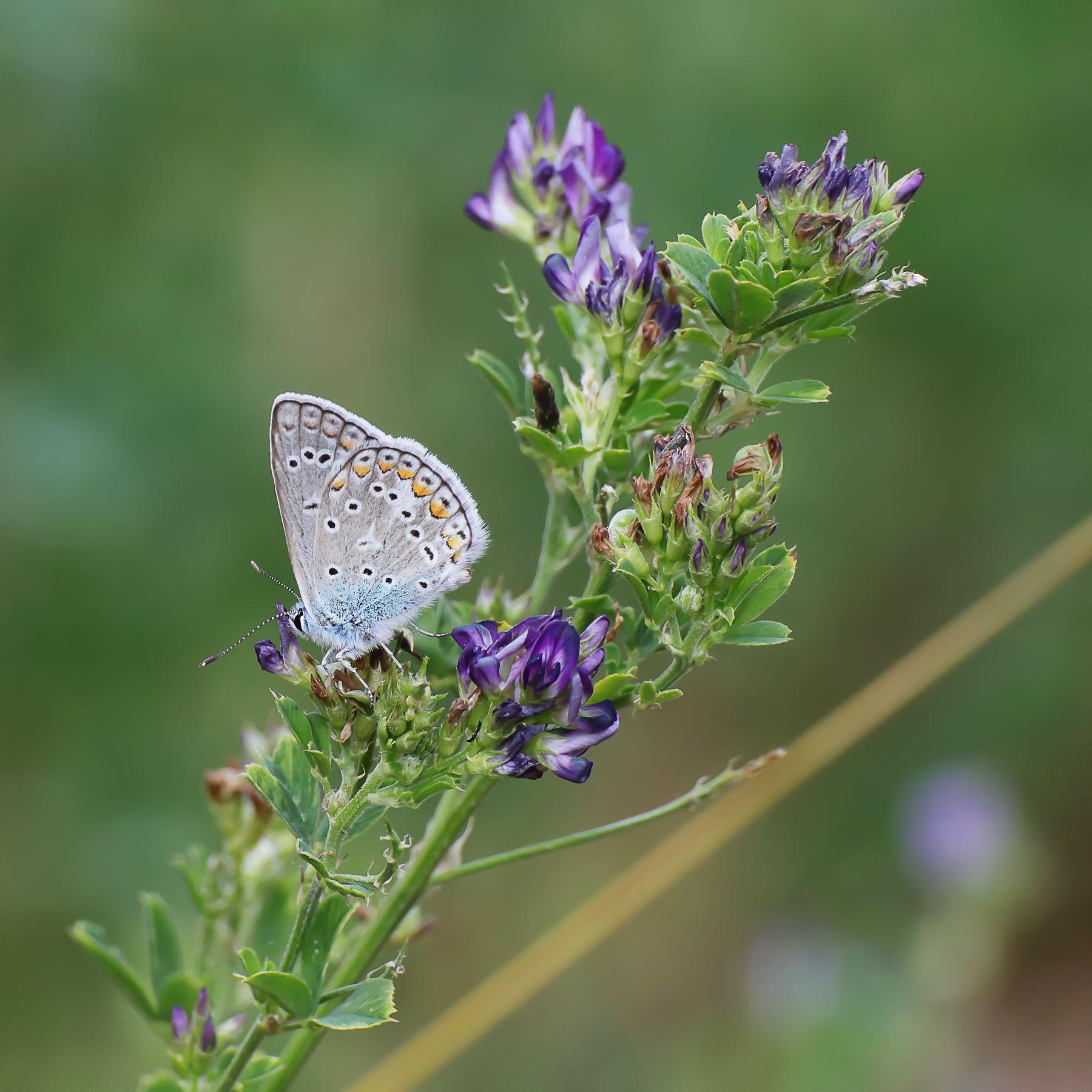 голубянка насекомые бабочки голубянка цветы нектар лето