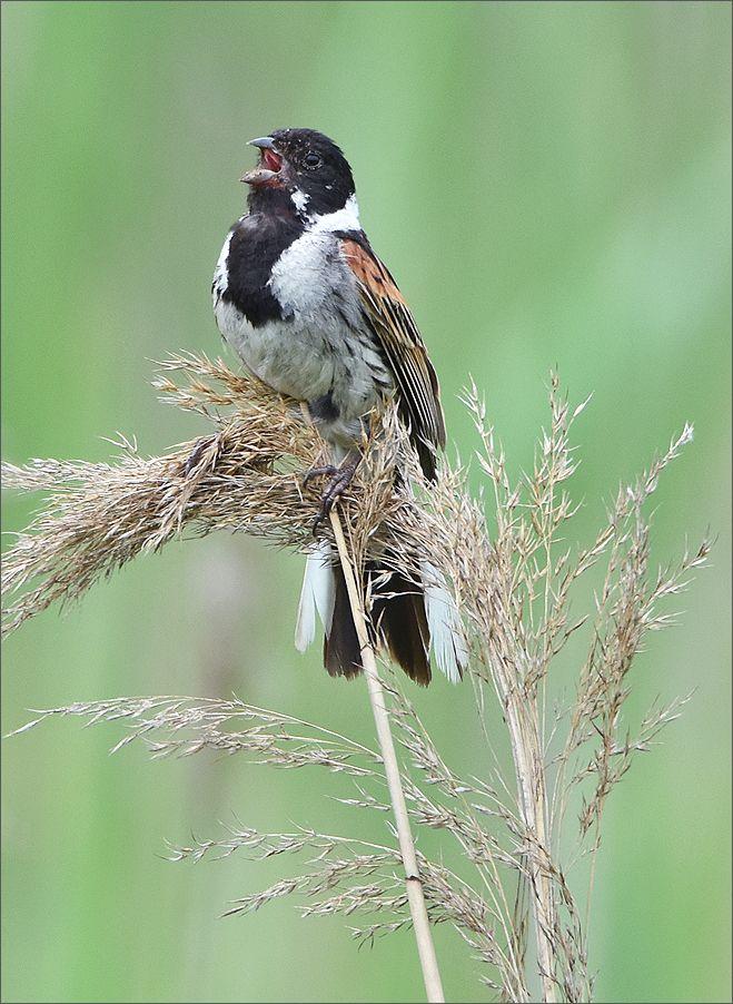 тростникoвая овсянка тростникoвая овсянка тростник самец птица Польша озеро вода весна Бытом