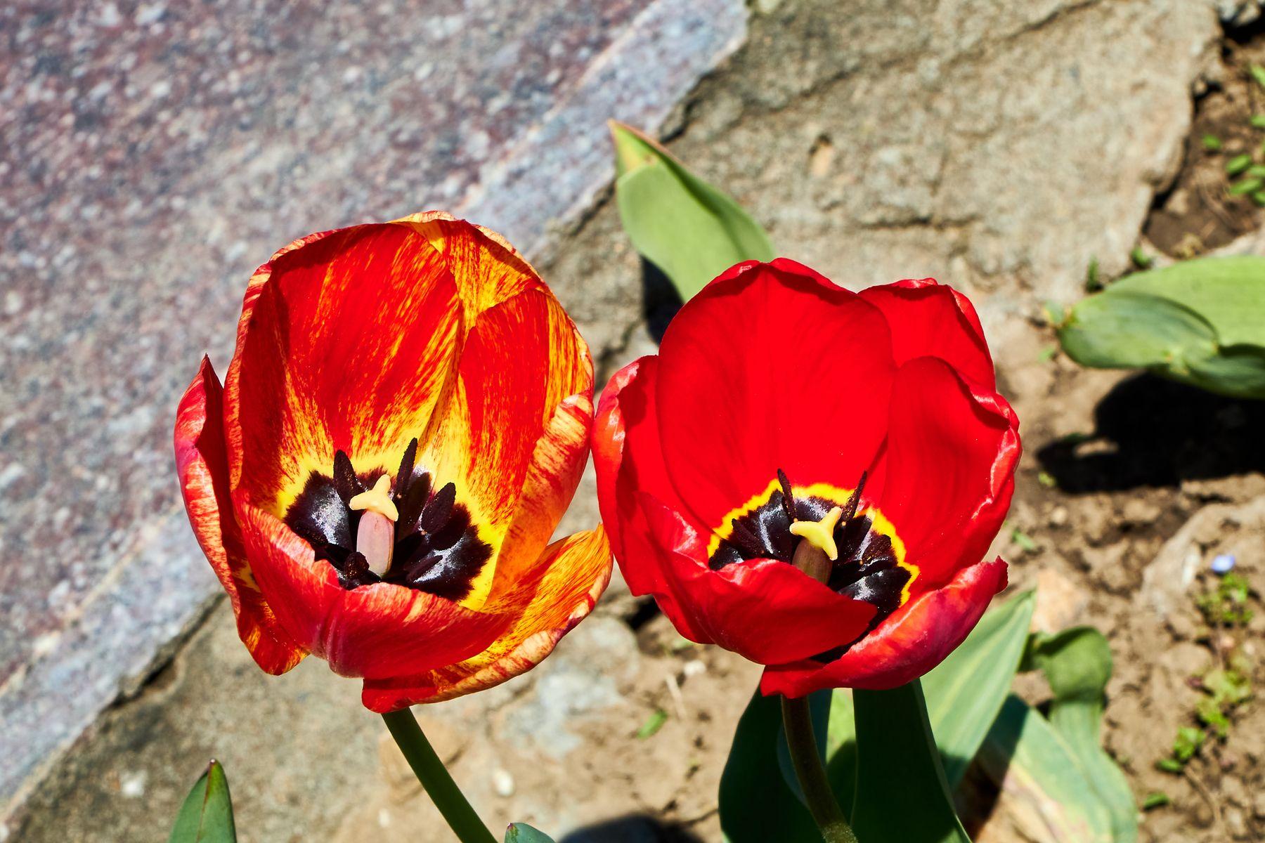 Тюльпаны тюльпаны цветы природа май весна
