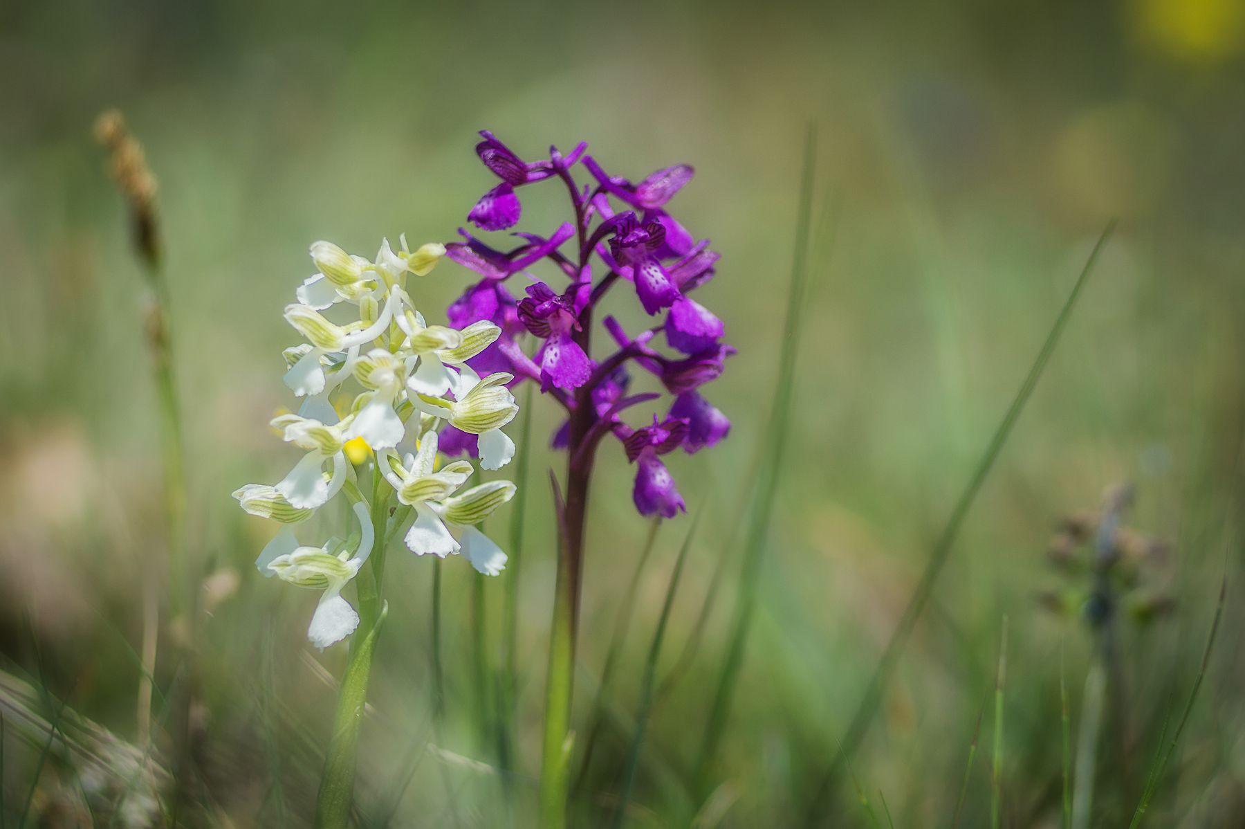 Анакамптис дремлик кавказский цветы макро природа