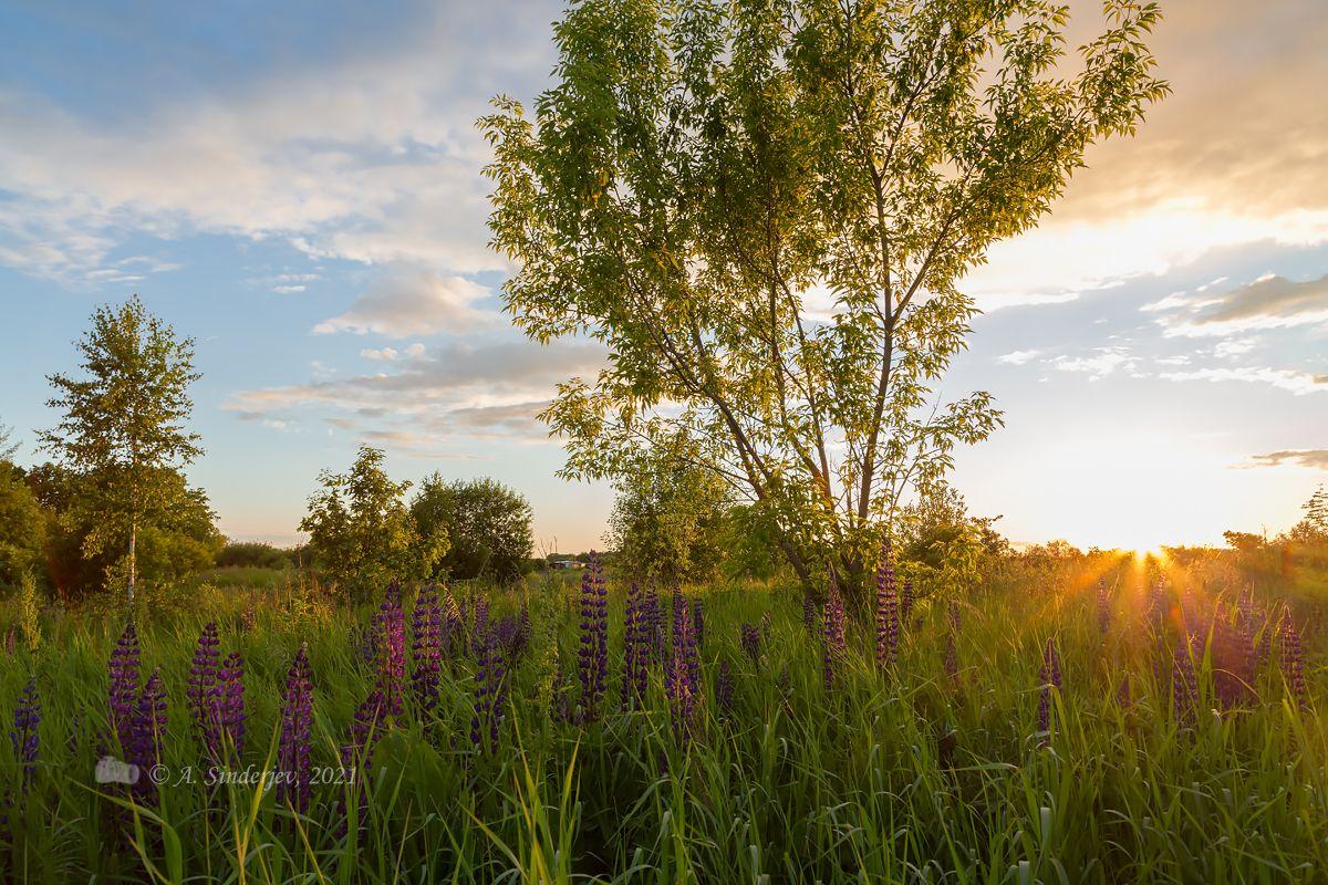 Закат и люпины закат пейзаж лето солнце природа