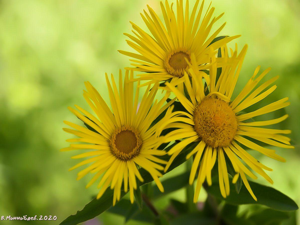 Желтые ромашки природа лето лес цветы