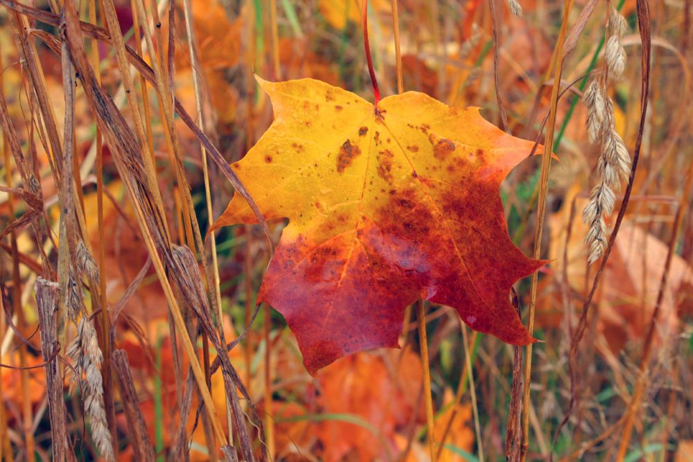 """Прощальная краса"" Клён лист осень октябрь"