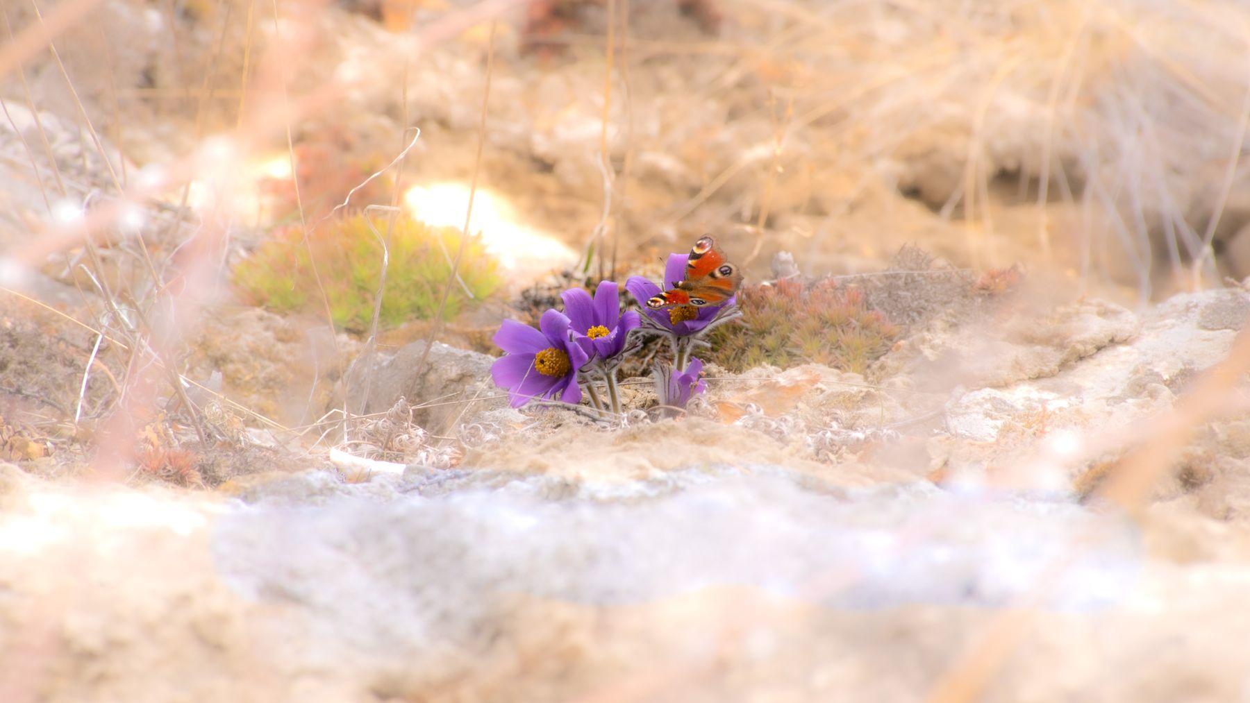 бабочка на подснежнике-2