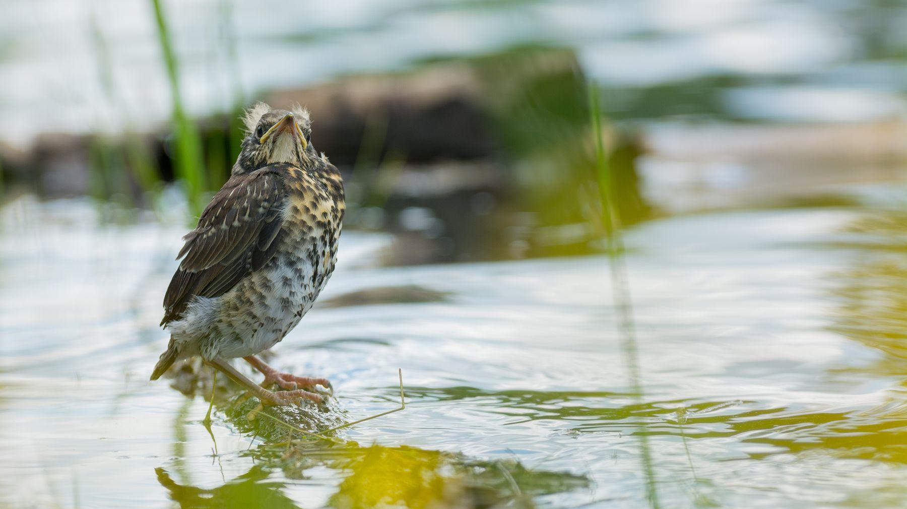 Дроздёныш у воды Дрозд рябинник птицы фотоохота Сибирь