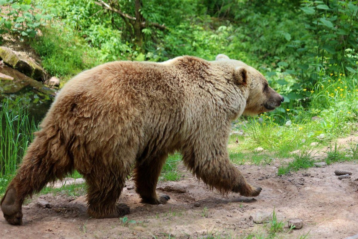 Медвежью тропой Медведь лето тропа