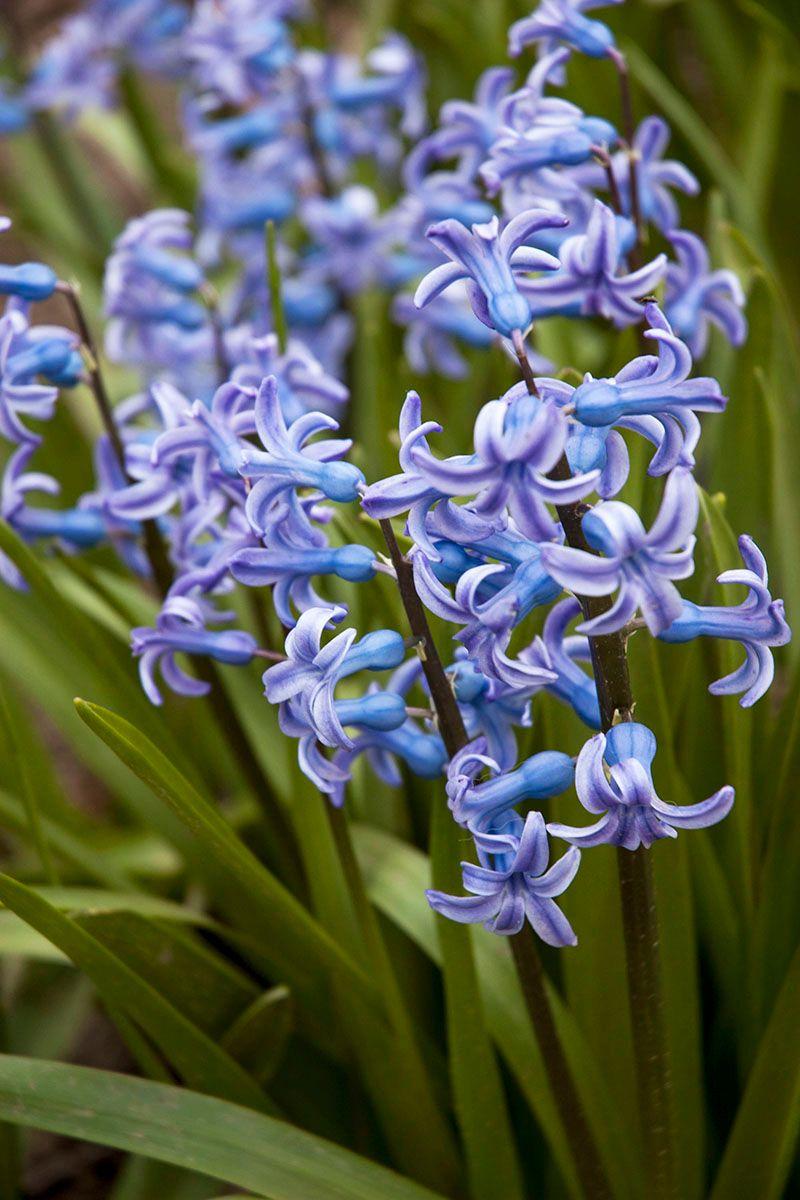Геацинт. цветы весна