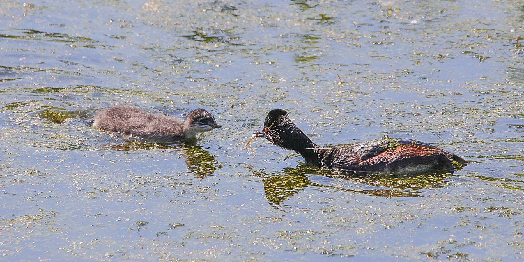 рыбка - птенцу птицы водоплавающие черношейная поганка